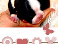 Hello I have a litter of AKC boston terrier puppies 4