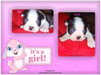 We have 12 Boston Terrier puppies. 8 Puppies born on