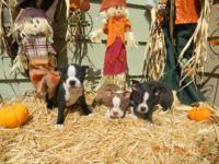 AKC BOSTON TERRIER PUPPIES 8WEEKS OLD HAVE HAD THEIR