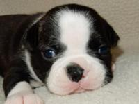 AKC Boston Terrier Puppies - On January 25th 2014, Moo