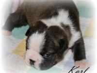 Karl is a stunning brindle and white Boston, with great