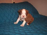 I have MALE boston terrier puppies They will be ready