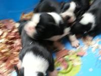 AKC Bostons full registration. males and females. will