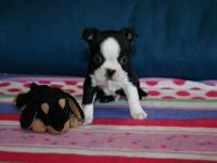 We currently have 3 lovely litters of Boston Terrier