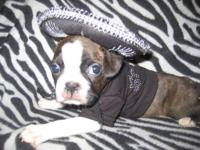 Boston Terrier,born 9/4/13, he is 6 weeks old and is a
