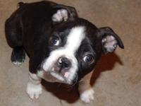 AKC BOSTON TERRIER PUPPY-9 WEEKS OLD-SIRE IS DNA
