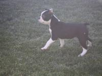 AKC Boston Terrier Female. This is the pick of the