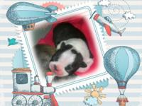 Hi I 1 good-looking child Boston terrier young puppy.