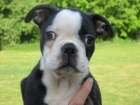 *** AKC Boston Terrier puppies.*** Lucy and Gamgee are