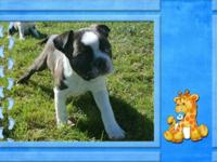 Hi I have 3 beautiful baby boys Boston Terrier puppies.