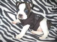 Boston Terrier, born 9/4/13 male he is 6 weeks old and