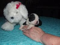 I have a litter of AKC boston terriers 3 black and
