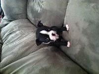 I have 3 Boston Terrier puppies. 2 Females and 1 Male.