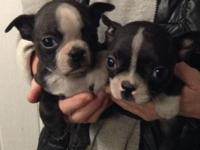 Akc Boston terrier ladies. All set January 28th,2015.