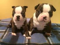 Two AKC male Boston Terriers. Born 07/29/2015, ready