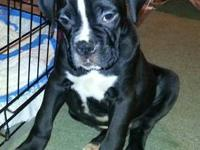AKC BOXER, 11 WEEKS OLD MALE REVERSED SEAL/ BRINDLE,