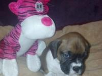 AKC BOXER. We have a beautiful litter of AKC Boxers