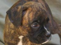 Brindle female with black mask. UTD on shots and