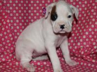AKC Boxer female, white with fawn area on Right eye.