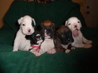 AKC BOXER. We have a gorgeous litter of AKC Boxers