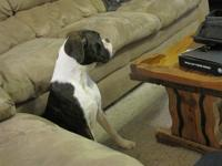 I have a flashy reverse brindle female boxer 8 months
