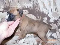 AKC pugilist young puppy, Male. Lighting showy
