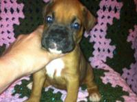 Description:. This Boy Is a classic fawn female $375.00
