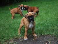 AKC Male Boxer Born April 9th, will be 8 weeks on June