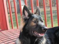 AKC female black Boxer pup born Dec 8 2013..will be