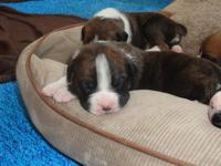 We have 9 AKC Champion bloodline boxer puppies for