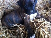 1 AKC Brindle Male Boxer puppy & 2 AKC White Female
