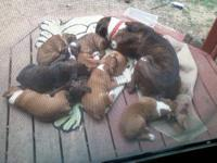 AKC Boxer Puppies for sale Ready for home May 24th.