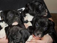 Eight puppies born Jan. 20th. First shots, dewormed,