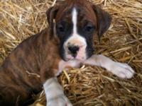 4 AKC Male Boxer puppies & 2 AKC Female Boxer puppies.