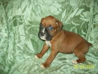 I have a nice litter of Boxer pups 8 males one