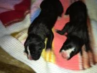 Very cute akc boxer puppies 4 females and 1 male left.