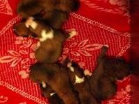 Hello we have 5 male boxer pups left brindle and flashy