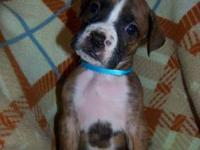 Beautiful AKC Boxer babies. Both Males and Females