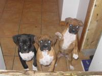 3 Pups available 1male and 2 females. The male is solid
