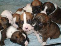 I have 8 boxer puppies that were born on december 10