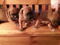6 AKC boxer puppies for sale, 4 females, 2 males. born