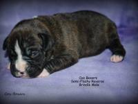 Two Beautiful Boxer puppies that will be ready to go