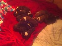 AKC boxer pups. Tails and dew claws removed. Will have