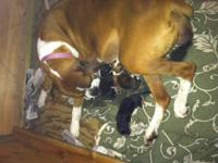 AKC registered boxer puppies! There is a litter of ten,