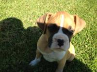 We have boxer puppies that are now ready for their new