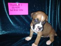 AKC Boxer Puppies For Sale, We are a single family, we