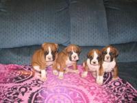 AKC Boxer Puppies 2 Males, 2, Females born 10-04-2013