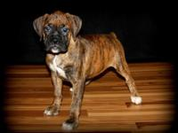 We have a gorgeous AKC brindle lady with champion