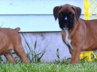 BEAUTIFUL BOXER MALE PUPPIES THEY BOTH HAVE A SLIGHT
