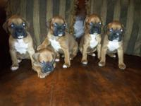 Gorgeous strong AKC Boxer Puppies, all fawn with black